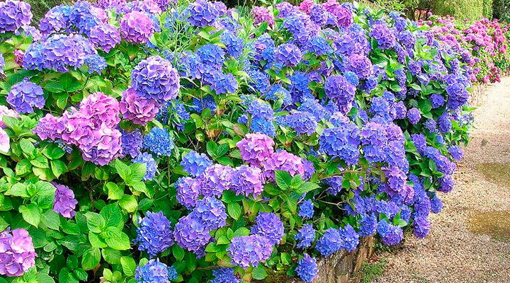 Красивоцветущих кустарники