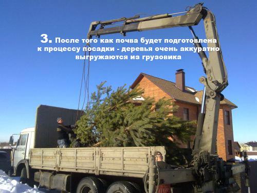 После того как почва будет подготовлена к процессу посадки - деревья очень аккуратно выгружаются из грузовика