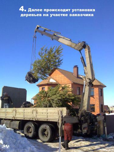 Далее происходит установка деревьев на участке заказчика