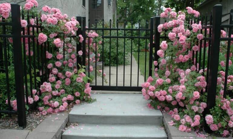 Розы и забор в садовом дизайне