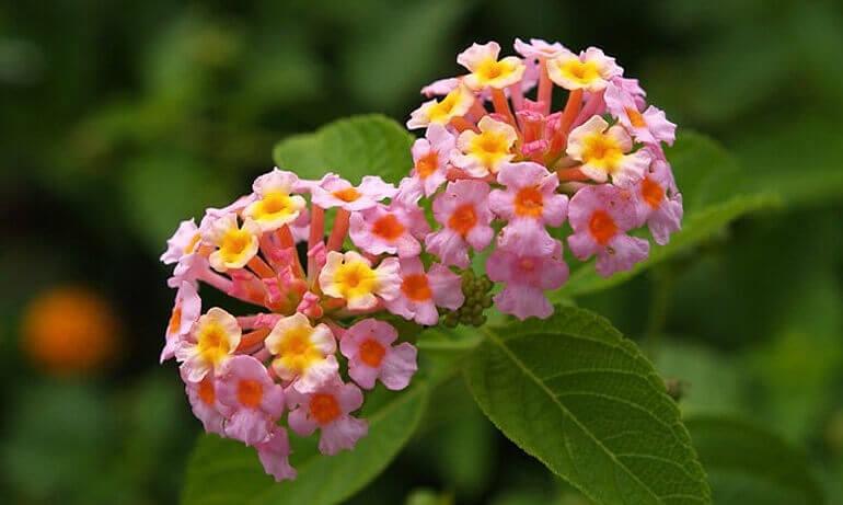 Лантана многолетний цветок