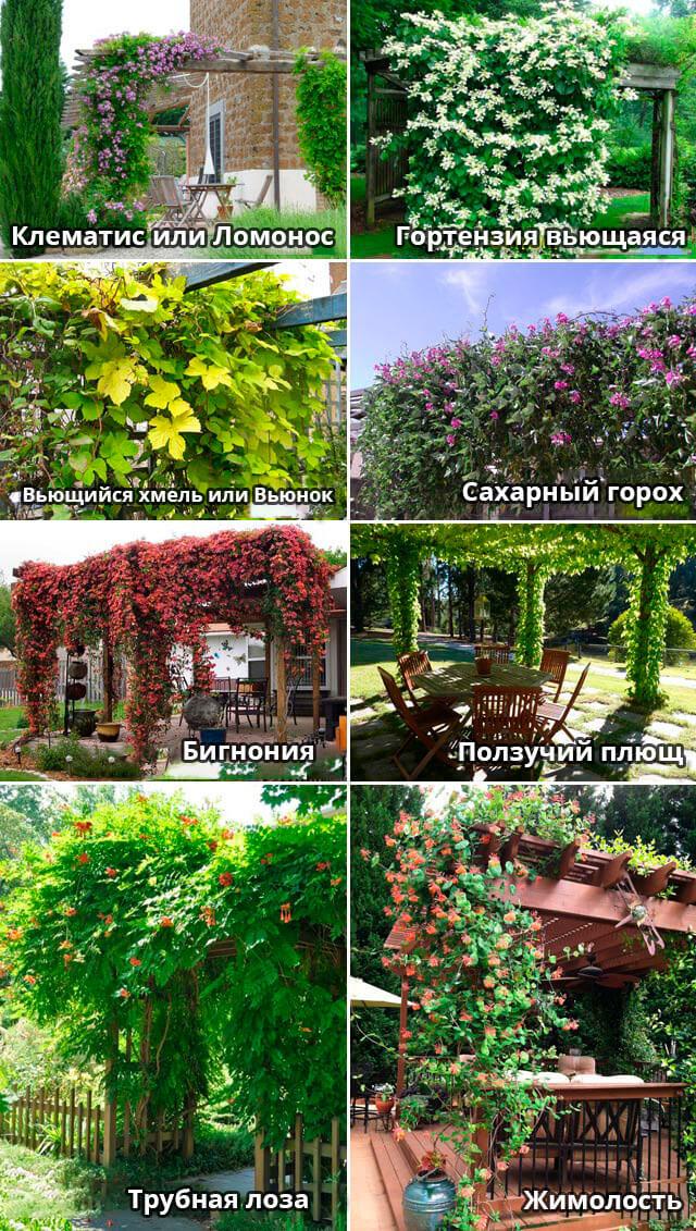 растения для создания навеса